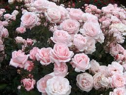 Cuidado para rosales en verano